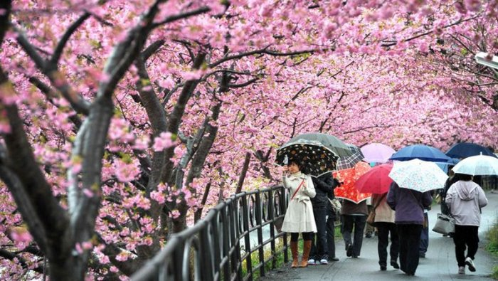 Cherry Blossoms parapluies